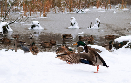 This duck stretching his wings while preparing to fly to warmer lands. It's already cold and it's snowing. It's time to fly away. Banco de Imagens