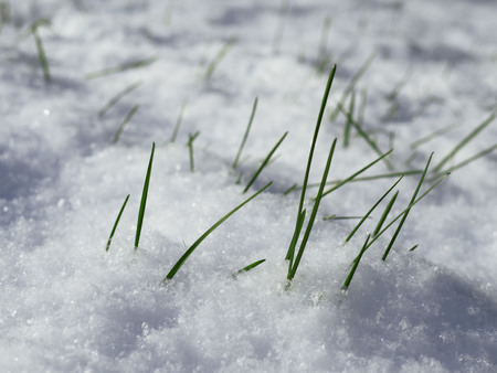 A young grass under the snow. The beginning of a new life.