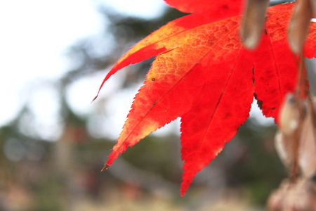 Maple leaf red autumn sunset tree background. Focus on the foreground.