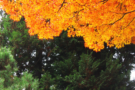 An interesting combination of orange autumn maple leaves and coniferous trees. Consistency versus seasonality.
