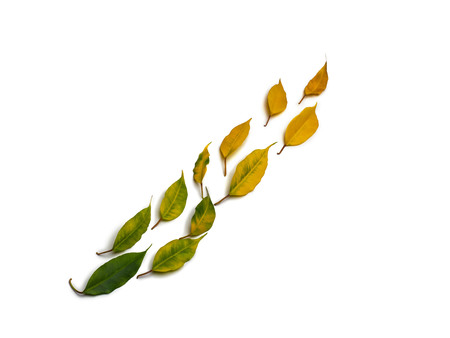 Isolated colorful autumn leaves located in diagonally a line on the white background.