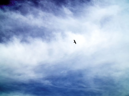 Sea eagle sailing in blue sky, silhouette of an eagle in the sky. Feeling of freedom.