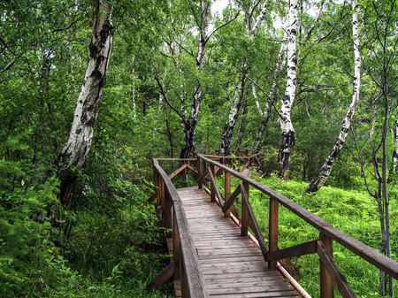Wooden bridge or road in green forest. Forest background with nobody. Green birch forest. Banco de Imagens