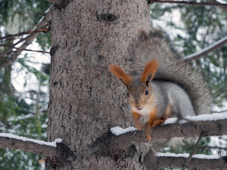 A large beautiful squirrel sits on a tree branch. Blurred background. Banco de Imagens