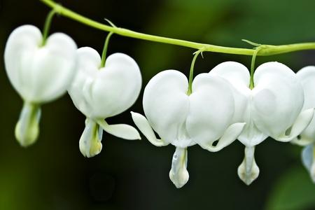 hemorragias: Hemorragia blanca flor del coraz�n