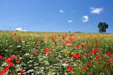 poppy field: Poppy gebied in Midden-Italië tegen de heldere blauwe hemel