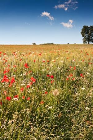 poppy field: Poppy gebied in Midden-Italië tegen de heldere blauwe hemel Stockfoto