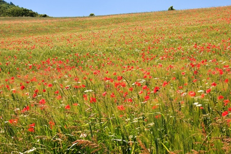 Poppy field in central Italy against clear blue sky photo