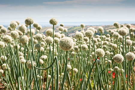 Flowering onionfield in Central Italy, le Marche Stock Photo