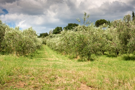 Olive Grove in Italy Stock Photo - 10459889