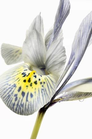 reticulata iris: Iris reticulata – Closeup