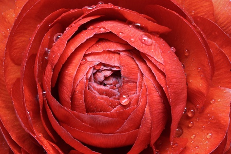 Ranunculus Asiaticus, Closeup photo