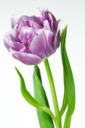tulipa: Tulip Closeup Stock Photo