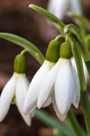 Snowdrops Closeup in a garden photo