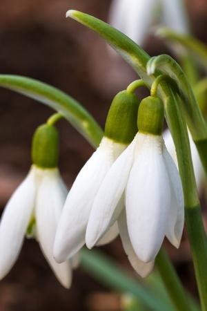 Snowdrops Closeup in a garden photo