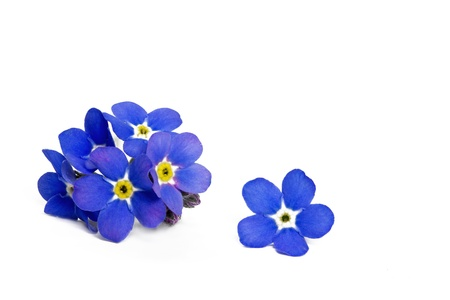 Forget me not flower, closeup, isolated Stock Photo - 10500336