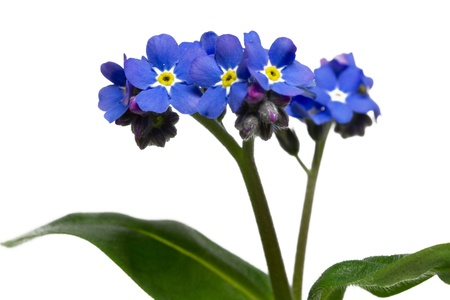 not to forget: Forget me not flower, closeup, isolated