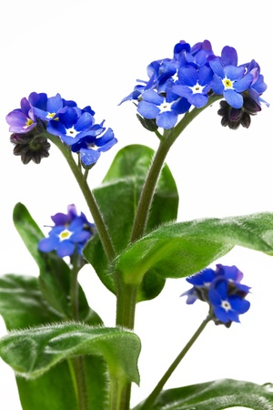 Forget me not flower, closeup, isolated photo