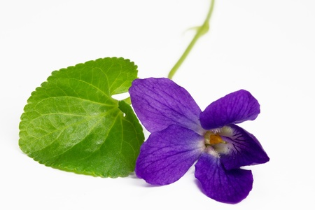 Purple Violets, isolated on white background Stock Photo