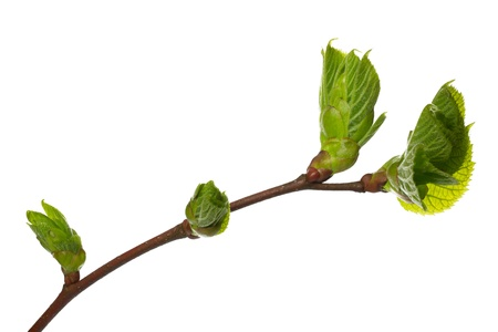 Spring branch of a Lime Tree, isolated photo