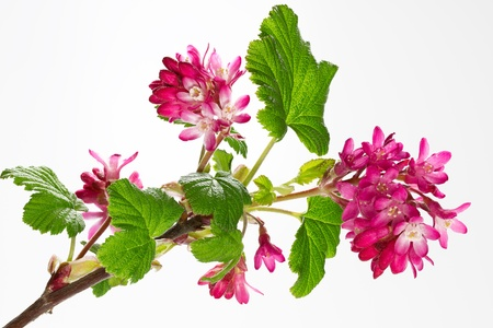 ribes: Ribes Sanguineum Blossoms
