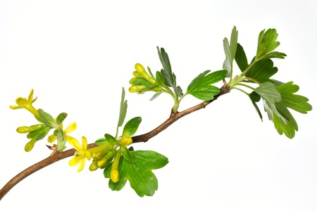 ribes: Ribes Aureum Blossoms
