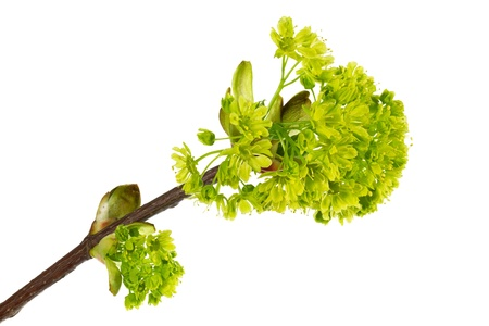 norway maple: Flowers of Norway Maple (Acer Platanonides)