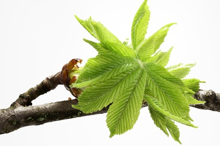 Buds and spring leaves of a chestnut tree (Aesculus hippocastanum) photo
