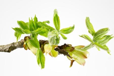 casta�as: Los brotes y las hojas de resorte de un casta�o de Indias (Aesculus hippocastanum) Foto de archivo