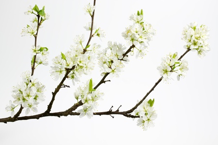 prunus cerasifera: Blossoms of a Cherry plum or Myrobalan (Prunus cerasifera)