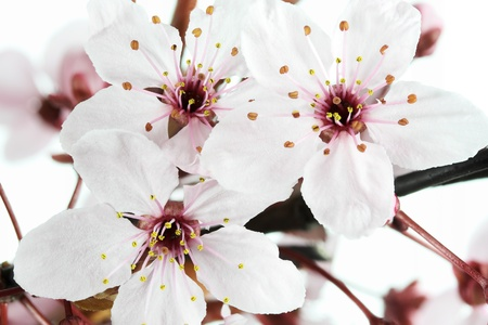 prunus cerasifera: Blooming Cherry Plum or Myrobalan