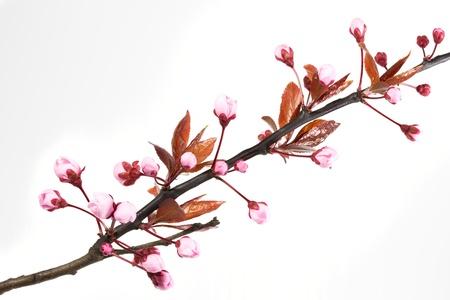 myrobalan: Blooming Cherry Plum or Myrobalan