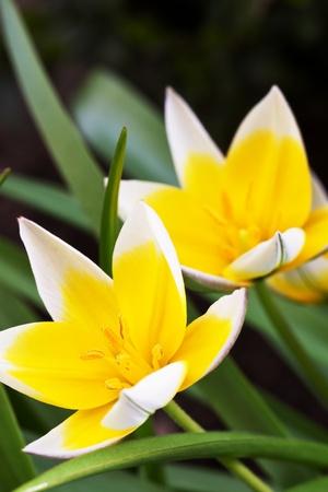 diminutive: Diminutive Tulip (Tulipa tarda) in a garden Stock Photo