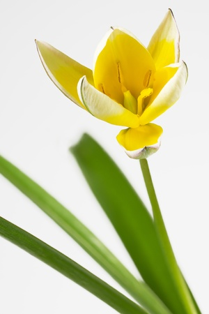 diminutive: Diminutive Tulip (Tulipa tarda), isolated, white background Stock Photo