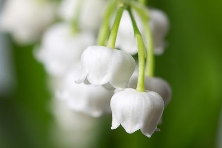 Lily of the valey (Convallaria majalis) Stock Photo - 10500501