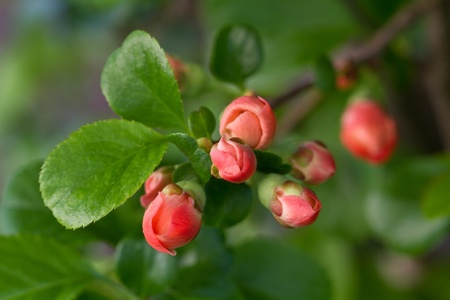 Japanese quince with buds (Chaenomeles) photo