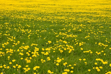 taraxacum: Spring meadow with blooming dandelion (Taraxacum)