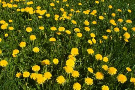 Spring meadow with blooming dandelion (Taraxacum) Stock Photo - 10501205
