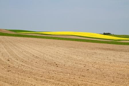 brassica: Blooming Rapeseed Field in Bavaria (Brassica napus)
