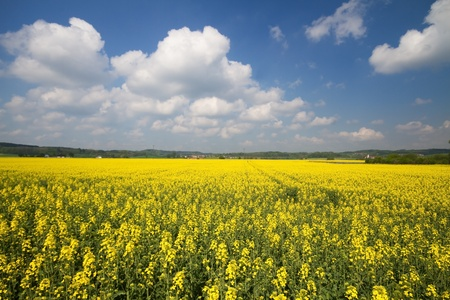 Blooming Rapeseed Field in Bavaria (Brassica napus) photo