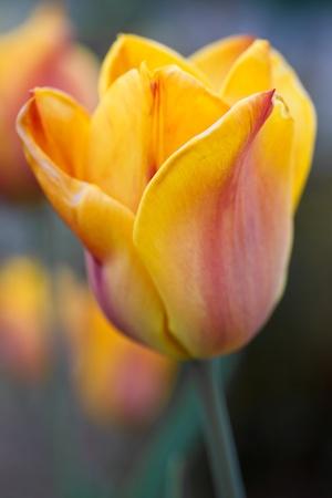 Tulip (Tulipa) Closeup