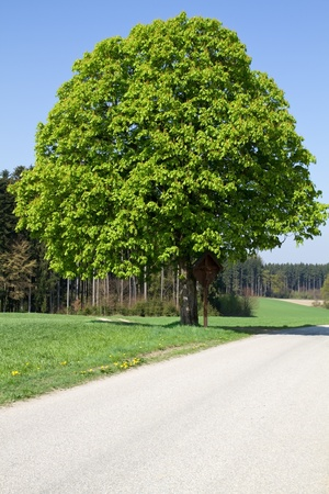 chestnut tree: Chestnut tree on a country road in Bavaria