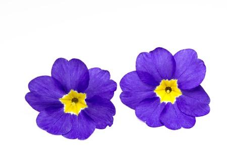 Primrose (Primula) Stock Photo - 10500393