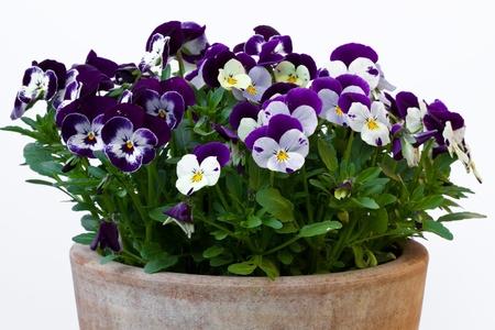 Viola cornuta (gehoornde violet) Stockfoto