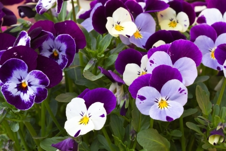 violas: Viola cornuta (horned violet) Stock Photo