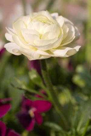 Ranunculus Asiaticus - Closeup Stock Photo - 10500398