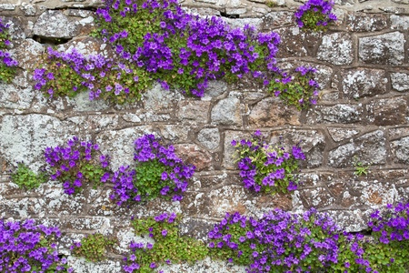 Adria Bellflower (Campanula portenschlagiana) Stock Photo
