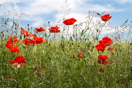 Blooming poppy field (Papaver Rhoeas) in Bavaria, Germany photo