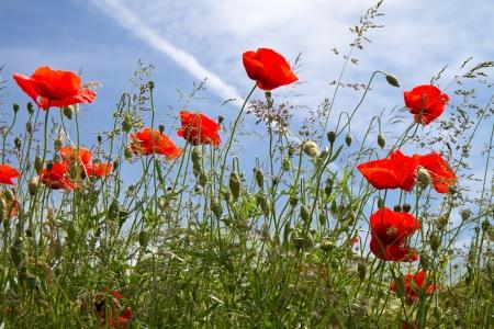 Blooming Poppy Field (Papaver rhoeas) in Beieren, Duitsland Stockfoto - 10518571