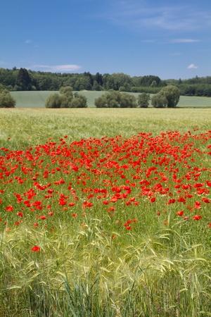 Blooming poppy field (Papaver Rhoeas) in Bavaria, Germany photo